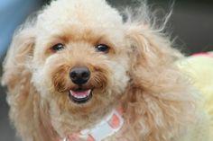 toy poodle smile♥ I'm HAPPY