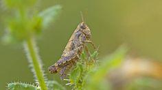 Proud short-horned grasshopper (Criquet pansu • Pezotettix giornae) #insect  #entomology  #nature  #locust  #orthoptera   #grasshopper   #criquet   #sauterelle   #macrophotography   #photography   #insect  www.entomophotopassion.com