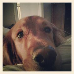 Just wanted to make sure you knew I was here #goldens