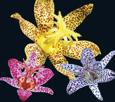 Toad Lily (tricyrtis)