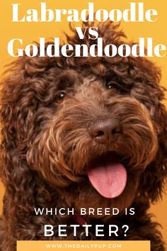 For dog lovers or prospective puppy buyers, the Labradoodle vs Goldendoodle comparison might be something area of great interest. This is even more crucial for the people who are going to select a pet dog out of these two wonderful breeds and are curious about the difference between the Labradoodle (Labrador x Poodle mix) and the Goldendoodle (Golden Retriever x Poodle mix). Cavapoo, Labradoodle, Dog Care Center, Doodle Dog Breeds, Female Golden Retriever, Standard Goldendoodle, Group Of Dogs, What Dogs, Guide Dog