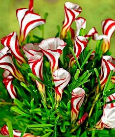 Candy Cane Sorrel - I want to plant some in my yard.