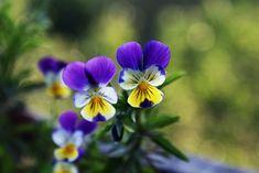 Pensamientos, flores de invierno - http://www.jardineriaon.com/pensamientos-flores-de-invierno.html