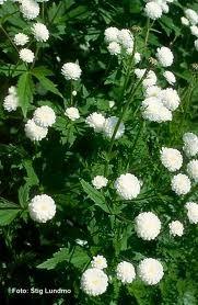 Duppsoleie - Ranunculus aconitifolius