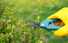 V červenci je vhodné období na letní řez rostlin | Recepty prima nápadů Pruning Shears, Garden Tools, Gardening Scissors, Yard Tools