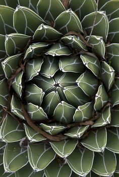 "Succulent by blue corgi, via Flickr. ""Succulent shot from directly above at the Quail Botanic Gardens."""