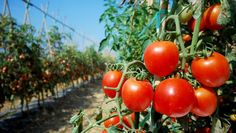 10 Easy Tips And Ideas For Growing Awesome Tomatoes - http://www.homesteadingfreedom.com/10-easy-tips-and-ideas-for-growing-awesome-tomatoes/