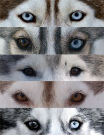 The Eyes Of Siberian Huskies Siberian Husky Husky Eyes Husky Dogs