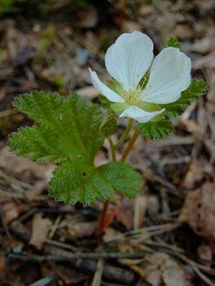 Muurain (Lakka, Hilla) -  Rubus chamaemorus-ruusukasvit-vampula- Finland- photo Jari Taivainen