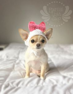 399 Best Chihuahua images in 2018   Chihuahua, Dogs
