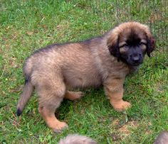 Leonberger dog | Leonberger Puppies 2010 (7)