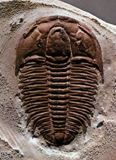 Trilobites, Articles on fossils, MineralTown.com