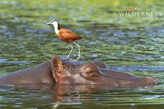 Mombo Camp - Birdlife is prolific around Mombo Camp, with waterfowl like African Jacana, Pygmy-Geese, massive Goliath Heron and migrant waders in summer being particularly common.