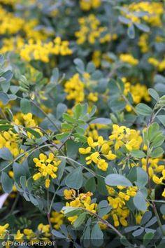 Coronilla valentina subsp. glauca. Arbuste ornemental très ramifié, avec des branches plus ou moins tortueuses, formant des touffes arrondies et assez compactes. Feuilles divisées en folioles glabres, glauques, très caractéristiques. La floraison est très abondante et colorée. Les inflorescences ont 4-12 fleurs jaunes très vives. Attire les hyménoptères.  Origine : Bassin méditerranéen. Elle est cultivée comme plante ornementale et est souvent spontanée ou naturalisée, jusqu'à 600 m…