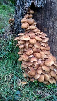 Mushroom  - václavky