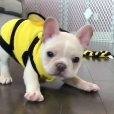 I'd let this bee sting me all day ? I'd let this bee sting me all day ? Cute French Bulldog, French Bulldog Puppies, Cute Dogs And Puppies, Baby Dogs, Teacup French Bulldogs, White French Bulldogs, Doggies, Baby Animals Pictures, Funny Animal Pictures