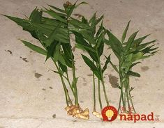Ginger—Zingiber officinale Roscoe — Figure Ginger plant showing rhizomes (roots) - All About Gardens Horticulture, Organic Gardening, Gardening Tips, What Is Ginger, Ginger Rhizome, Jamaica Food, Jamaica Recipes, Growing Ginger, Ginger Plant