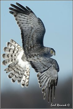 Northern Harrier Hawk by Earl Reinink, via Flickr ~ View the many amazing bird photos on Flickr. Unbelievable.