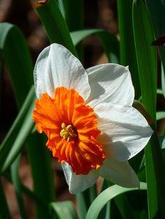 Narcis, Witte, Bloem, Plantaardige - Gratis afbeelding - 6239