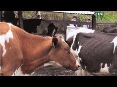 Biotecnología Reproductiva Colecta de Toros  - TvAgro por Juan Gonzalo A...