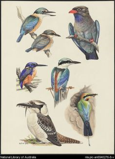Temple Watts, Betty, 1901-1992.  Kingfishers, bee-eaters and dollar bird. Plate XX (R4810) [picture]  1958-1967. 1 of 134 paintings : watercolour ; 38 x 27.1 cm. or smaller.  Part of Original watercolours for the illustrations in Birds in the Australian high country edited by H.J. Frith [picture]  From National Library of Australia collection  http://nla.gov.au/nla.pic-an6940276-8  nla.pic-an6940276-8