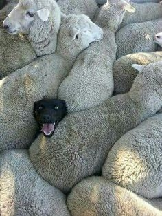 An image tagged dogs,funny dogs,sheep Cute Funny Animals, Funny Animal Pictures, Cute Baby Animals, Funny Dogs, Animals And Pets, Farm Animals, Cute Animal Humor, Funny Photos, Funny Sheep