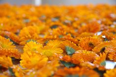 Calendula flowers befor drying
