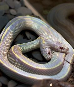 In Russia's Moscow Zoo, a very rare two-headed albino California kingsnake is displayed for viewers. The occurrence of two-headed snakes are one in a million and they usually do not survive in the wild.