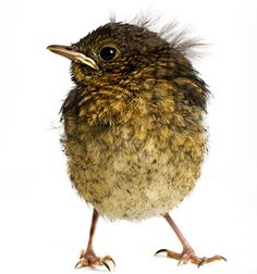 The Baby Bird Project: rescued chicks photographed by Gavin Parsons - Telegraph