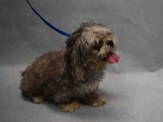 Safe ❣ lola_a1089009 Why buck the trend ? Bring your senior dog to NYC AC&C to be killed !  FEMALE, GRAY / WHITE, LHASA APSO MIX, 12 yrs STRAY – STRAY WAIT, NO HOLD Reason STRAY Intake condition ILLNESS Intake Date 09/07/2016, From NY 11385, DueOut Date09/10/2016