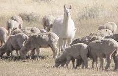 Image result for llama guarding sheep Sheep, Fantasy, Activities, Animals, Image, Llamas, Animaux, Imagination, Animal