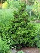 61. hinoki cypress-transplant