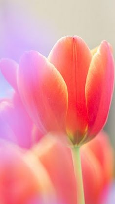 Pretty Tulips with many colours! #tulip #flower