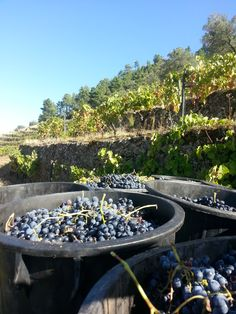 Grapes for Port in Douro Valley