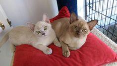 burmese Natmac kittens 2619_BURST008 | Flickr - Photo Sharing!