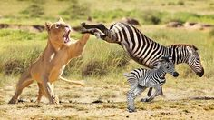 Mother Zebra Save Baby Fail From Lion Attack.