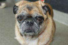 Pug Rescue Network welcomes Tasha to rescue <3  Tasha is in need of a foster home and is available for adoption <3