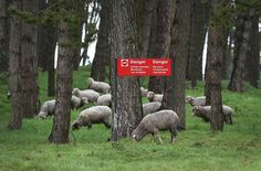 Sheep graze in an area still dangerous from unexploded World War One munitions at the Canadian National Vimy Memorial on March 26, 2014 in Vimy, France.