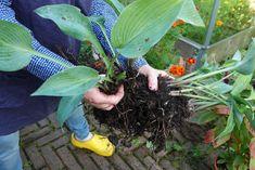 perennan jakaminen Vegetables, Plants, Vegetable Recipes, Plant, Veggies, Planets