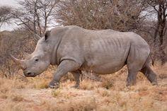 Inbrott i djurpark i Paris –vit noshörning dödad och horn avsågat | Natursidan