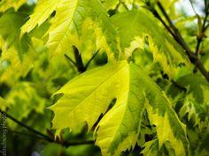 Acer platanoides 'Drummondii'  HARLEQUIN NORWAY MAPLEdeciduous shade treefull sunMature size: 50'Hx40'WUprightFOLIAGE: VariegatedCream edges green leavesFALL COLOR: Yellow Dense shadeMassive leavesLong livedMoist well drained soil