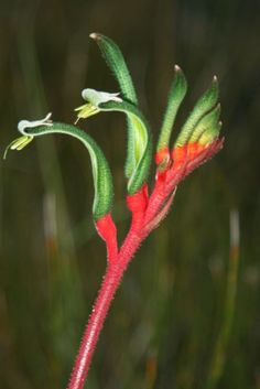 Anigozanthos manglesii or Red and Green Kangaroo Paw, the floral emblem of Western Australia Australian Wildflowers, Australian Native Flowers, Australian Plants, Australia Day, Western Australia, Kangaroo Paw, Tropical Flowers, Native Plants, Trees To Plant