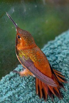 Beautiful orange and plum colored hummingbird in the rain.