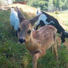 Bambi, le petit faon sauvé par une ferme dans les Alpes