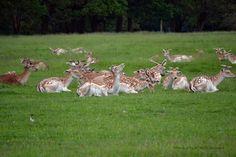 Fallow deer at Attingham Park  Shropshire