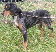 Bluetick Coonhound M 3 years 45-50 lbs named Clint in Amherst, VA @ Humane Society of Amherst County Adoption Center 434-946-2340 hsofac@gmail.com