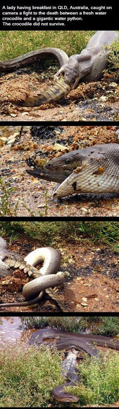 Lake Moondarra near Mount Isa on March 2, 2014 in Queensland, Australia. The snake fought, wrestled and then ate a crocodile whole following a dramatic five-hour long battle.