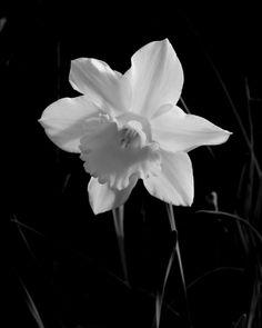 Daffodil - Photography by Karl Seitinger, 2014