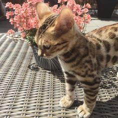 These sweet cats will warm your heart. Cats are wonderful companions. - These sweet cats will warm your heart. Cats are wonderful companions. Baby Animals, Funny Animals, Cute Animals, Funny Cats, Cute Kittens, Cats And Kittens, Bengal Kittens, Siamese Cats, I Love Cats