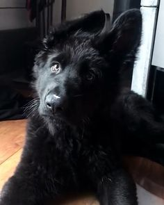 """See our site for additional information on """"german shepherd puppies"""". It is an exceptional spot to read more. German Shepherd Videos, Black German Shepherd Puppies, German Dogs, Baby German Shepherds, Black Shepherd, Cute Dogs And Puppies, Baby Puppies, Pet Dogs, Doggies"""